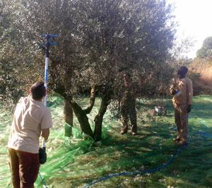 montat-collita-olives2